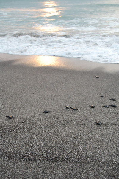 turtles into sunset